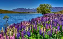 パートナーと一緒に行きたい♪次に来る花畑デートの定番は「ルピナス」