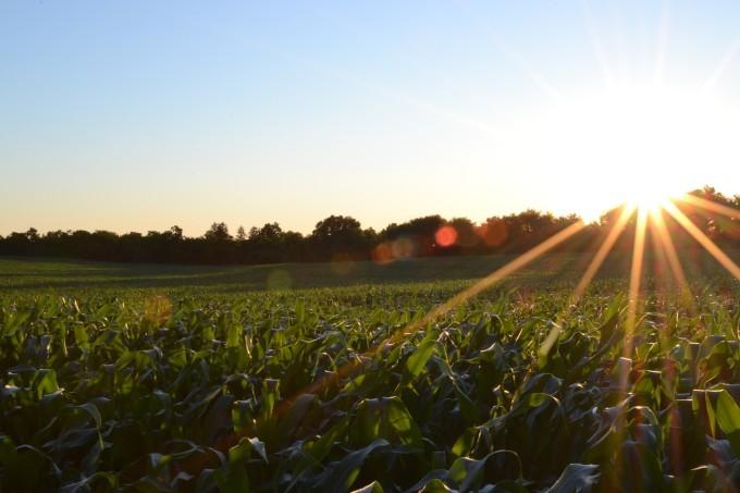 corn-691634_1280