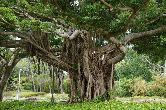 ガジュマル大樹