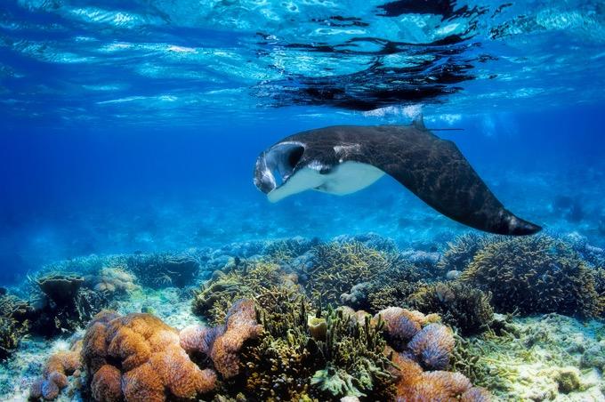野生のイルカやマンタと泳げる!