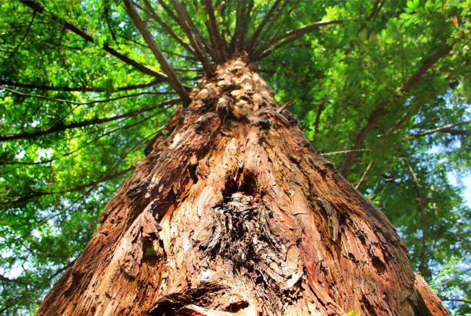 巨樹古木の森に包まれよう!アメリカの国立公園「セコイア国立公園」