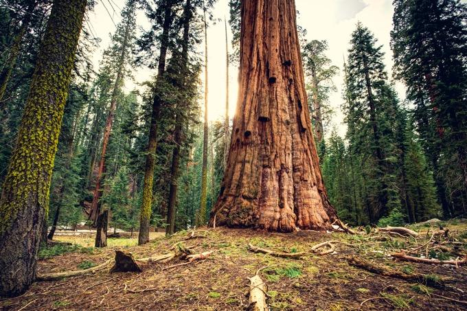 セコイア国立公園の見所は「シャーマン将軍の木」