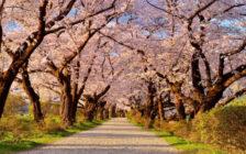 春の訪れを感じよう!国内で開催される桜まつり35選