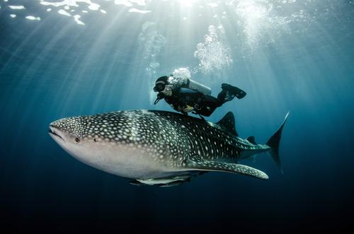 その距離わずか50cm!沖縄でジンベエザメと一緒に泳げるスポット
