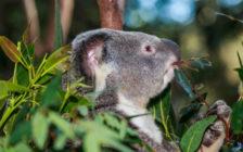 シドニーでも出来ない!コアラ抱っこは自然がまるごと体験できるカランビン動物保護園で