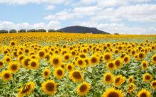 見渡す限りひまわり畑!アンダルシア州のカルモナで絶景を独り占めしよう