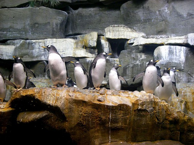 800px-Penguins_at_John_G._Shedd_Aquarium_in_Chicago,_IL