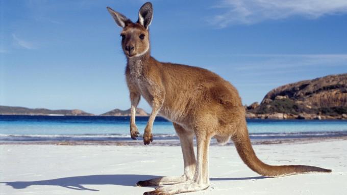 Kangaroo_Australia_Sea_438897