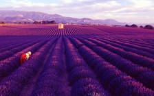 Lavender-fields-Provence-France_