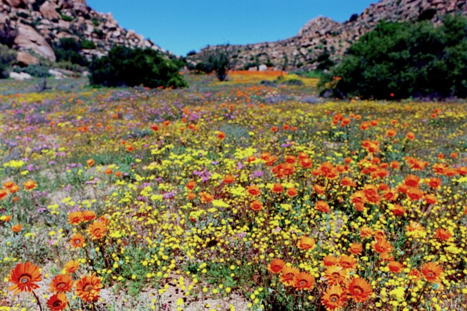 Spring_in_Namaqualand