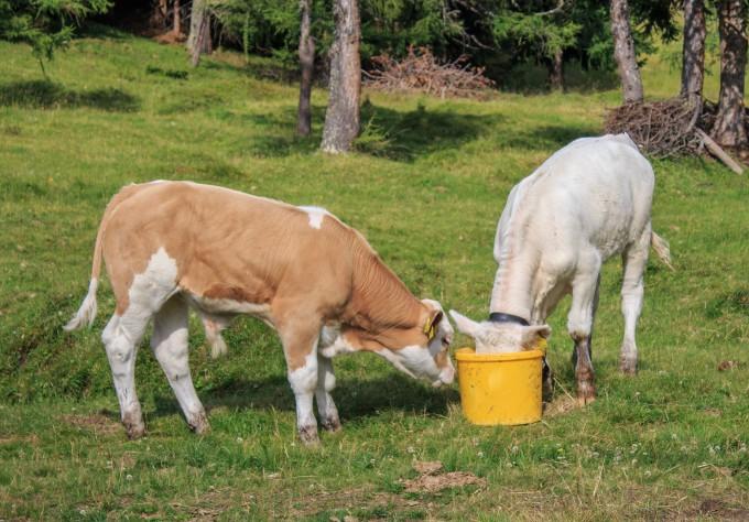 calves-842526_1920