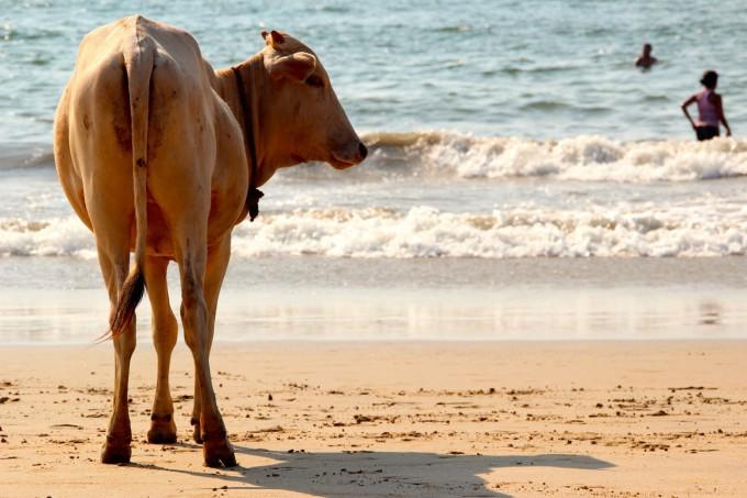 cow-1028432_1280