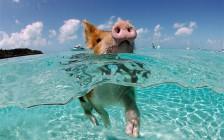 美しいビーチと可愛い豚さえいれば、もう何も要らない