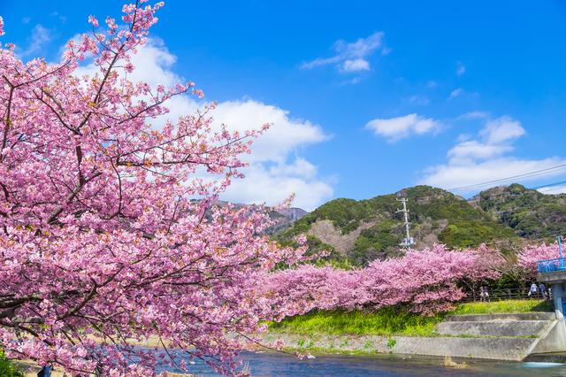 河津桜まつりが3月10日まで開催中!一足先に春を感じに行こう♡