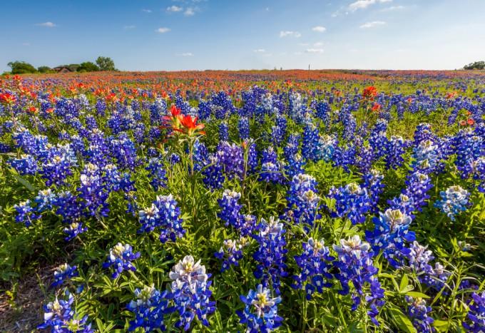 ブルーボネットの花畑
