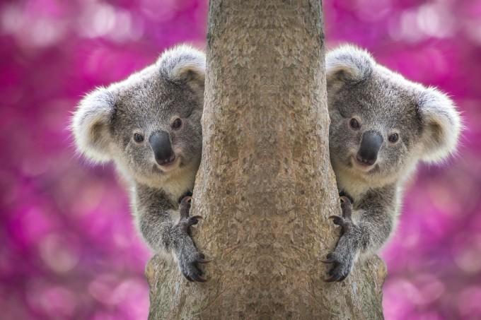 オーストラリア観光局が公開したコアラ(とお姉さん)の動画が話題!見ているだけで幸せ…