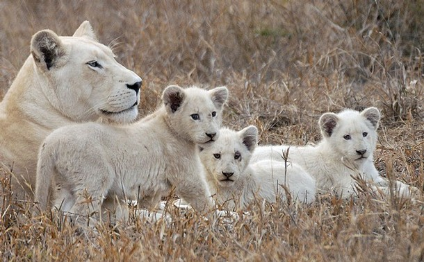 A rare white lion lies with her cubs at the Global White Lion Protection Trust game reserve in Timbavati