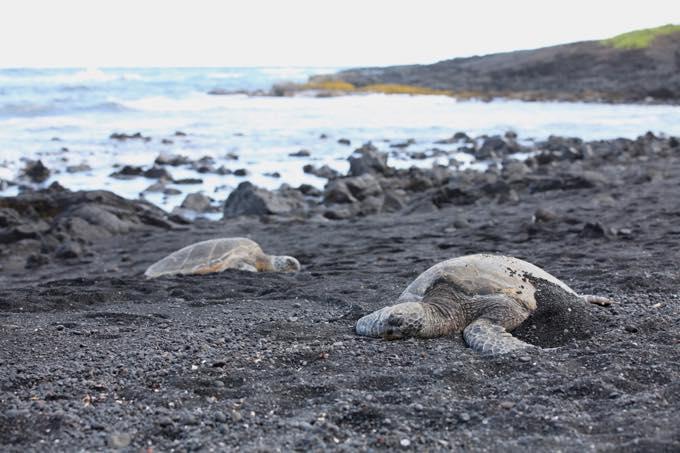 プナルウ黒砂海岸/ハワイ島
