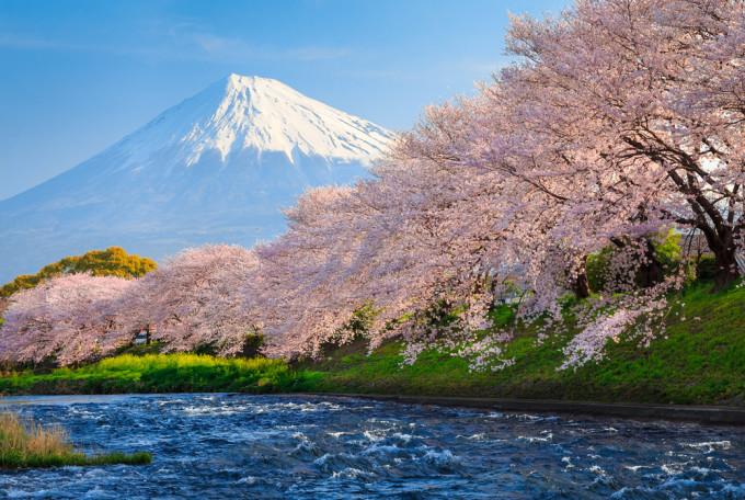 富士山の隣に咲くCherry Blossom/桜
