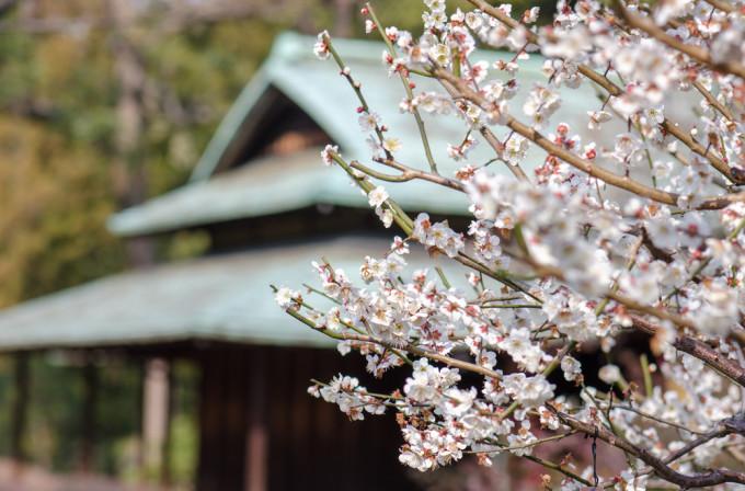神社の隣に咲くPlum/梅