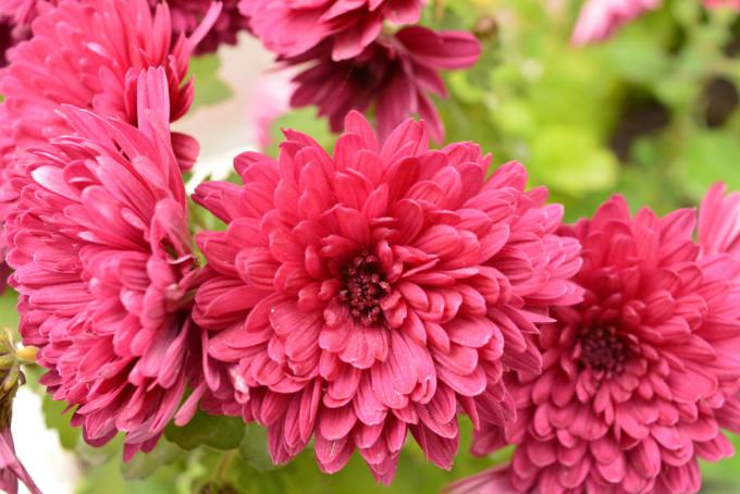 美しく赤く咲くChrysanthemum/菊