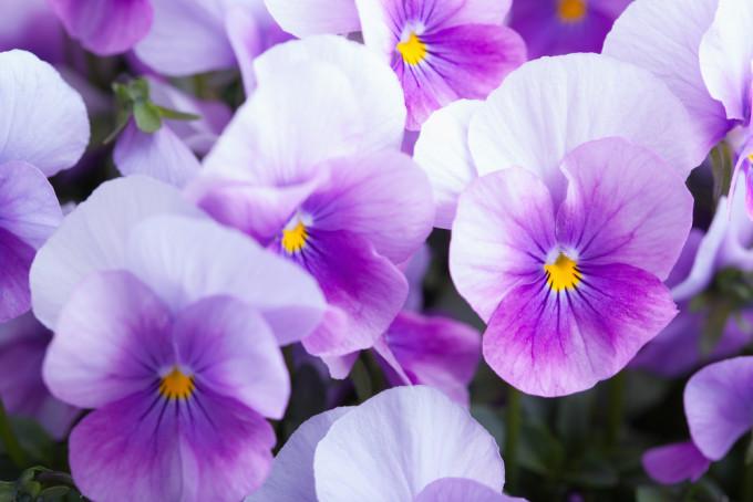 美しく紫色に咲くViolet/スミレ