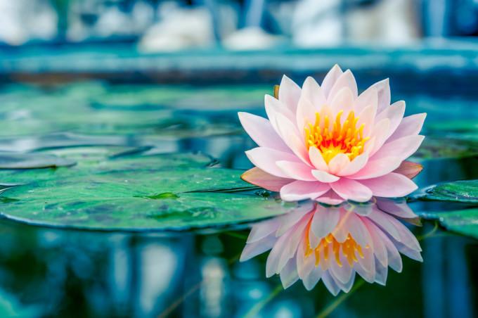 ピンク色に水の上で咲くWater lily/スイレン