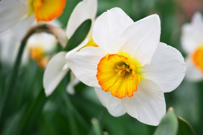 白く美しく咲くNarcissus/スイセン