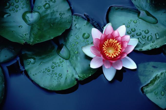夜の池に咲くLotus/ハス
