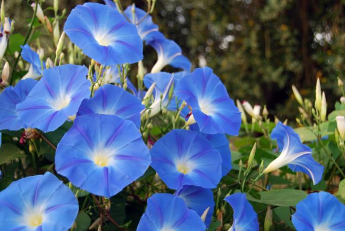 青色に美しく咲くMorning glory/アサガオ