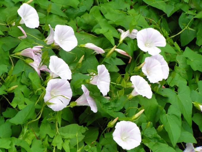 白く咲くJapanese Bindweed/ヒルガオ
