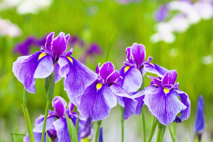 紫色に美しく咲くIris/アヤメ