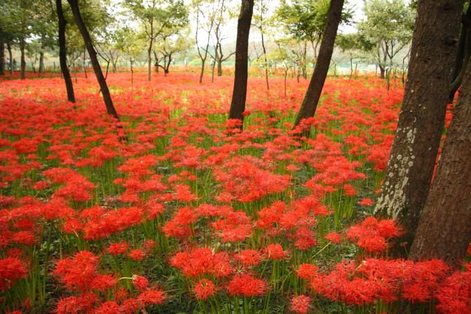 オレンジ色いっぱいに広がるRed spider lily/ヒガンバナ