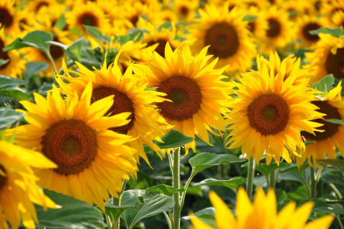 青空の下で咲くSunflower/ヒマワリ
