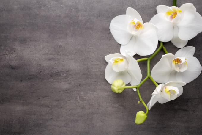 白くおしゃれに咲くOrchid/ラン