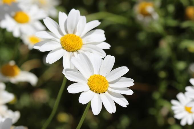 白く美しく咲くDaisy/ヒナギク