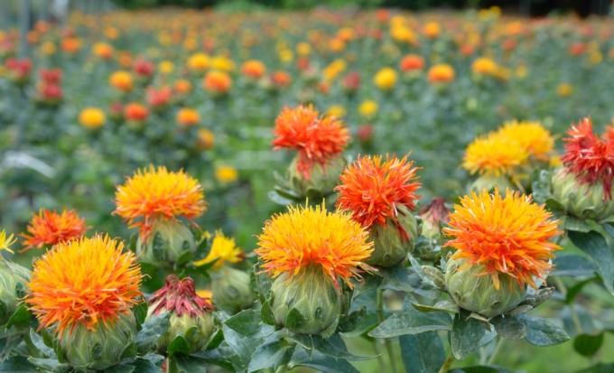 オレンジ色に咲くSafflower/ベニバナ