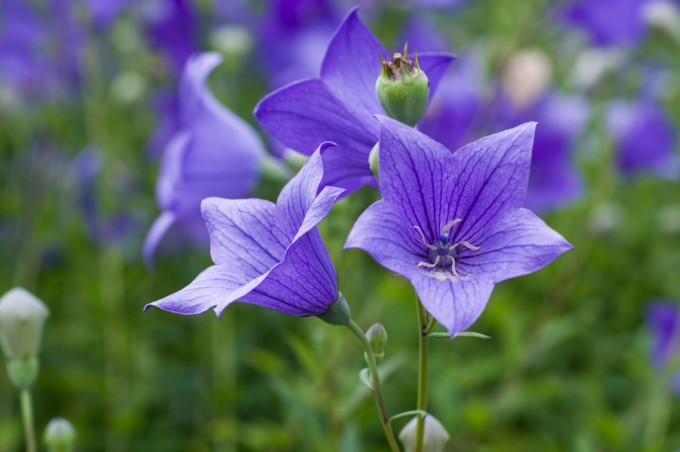紫色に美しく咲くBalloon flower/キキョウ