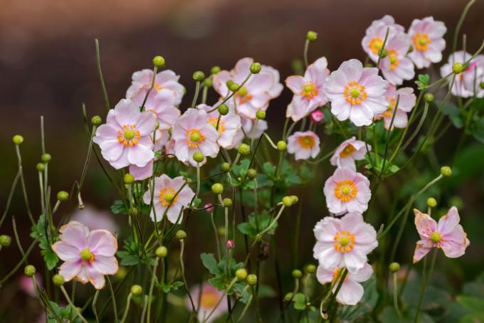 小さなピンク色に咲くAnemone/アネモネ