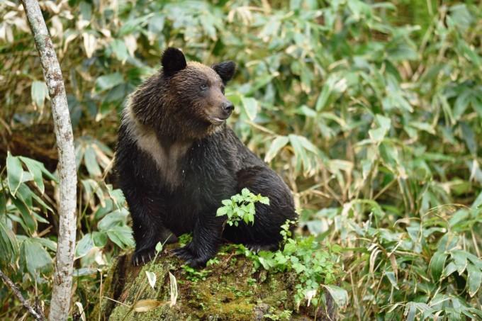 北海道知床にいる野生の熊