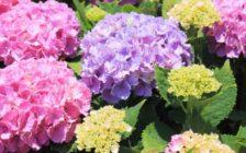 梅雨に映える関東の紫陽花(アジサイ)スポット