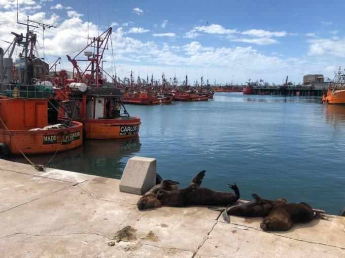 マルデルプラタ港のアシカ