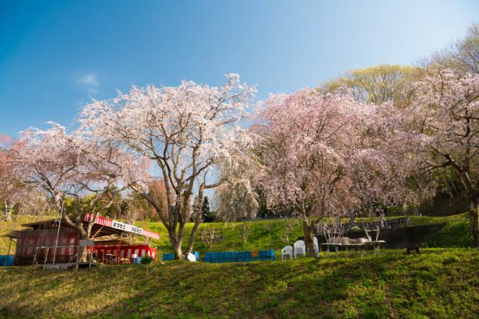 福島の有名な桜並木