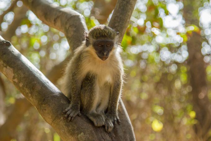 ガンビア共和国の野生の猿