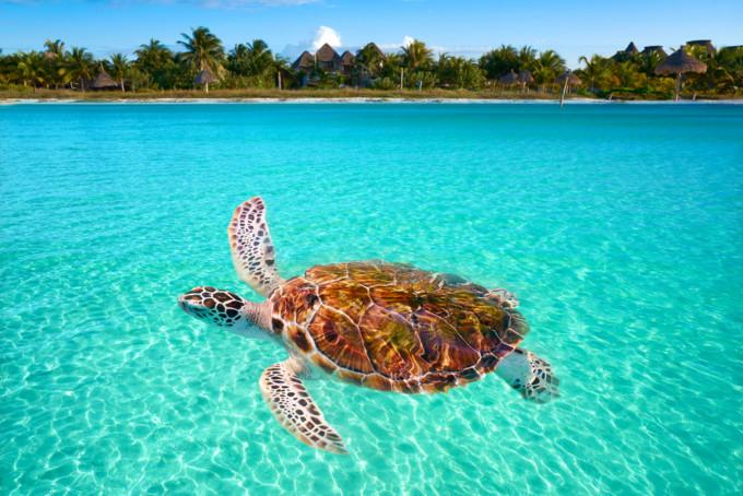 ホルボッシュ島の海に浮かぶ亀