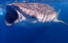 その数なんと200匹!メキシコのカンクン沖で野生のジンベイザメの大群とスノーケルをしよう