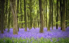 1年で2週間だけ!奇跡の青紫色の絨毯とチューリップを見にオランダ・ベルギーに行こう