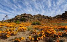 2週間限定!砂漠に咲くオレンジのお花畑が南アフリカのナマクワランドにあった