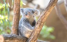 ケアンズでコアラを抱っこしたい♡日帰りで行ける動物園5選