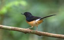 1000万の価値の鳥も!インドネシアの珍文化・鳥の鳴き声コンテストが変わってる